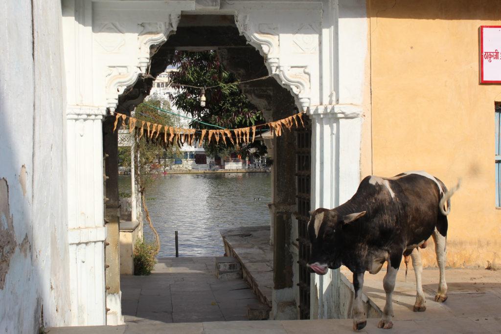 święte krowy w Indiach
